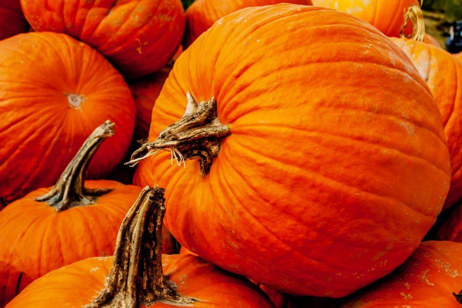 A pumpkin is a gourd-like squash and is native to North America. They typically have a thick, orange or yellow shell, creased from the stem to the bottom, containing the seeds and pulp. Pumpkins are widely grown for commercial use, and are used both in food and recreation. Pumpkin pie, for instance, is a traditional part of Thanksgiving meals in the United States, and pumpkins are frequently carved as decorations around Halloween. A pumpkin that has a little face carved in it and hollowed out and decorated with candles inside is known as a jack o'lantern; these are often used at Hallowe'en, for example, to decorate windows.