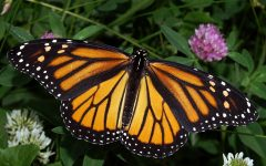 How YOU Can Save the Monarch Butterflies