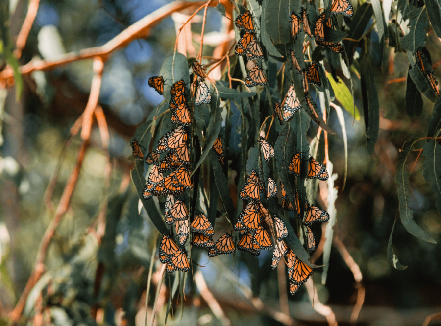 Monarch butterflies sitting together on a eucalyptus tree